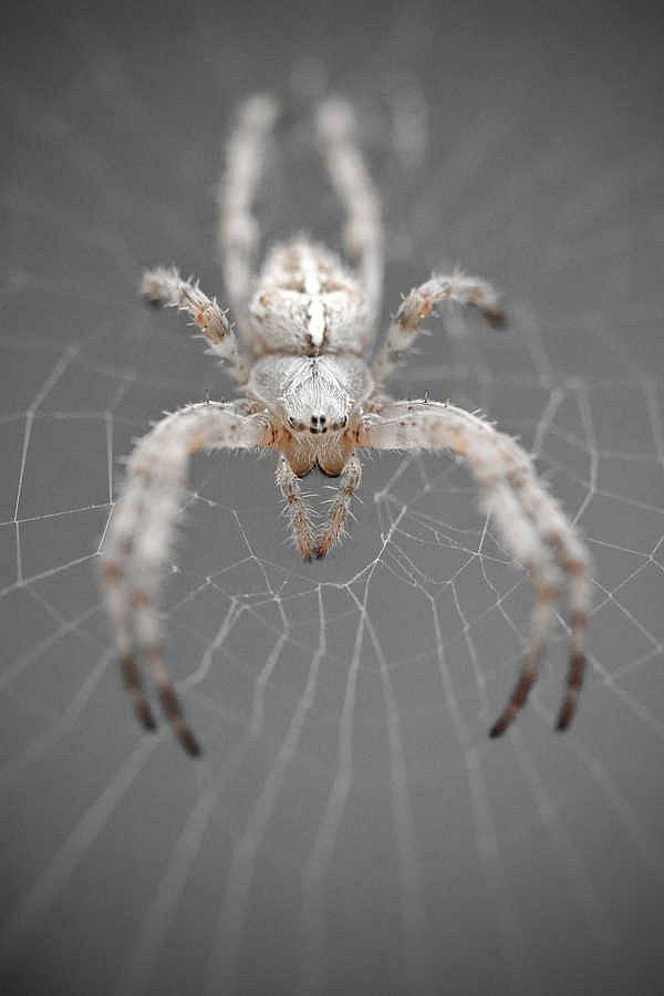 Arachnide